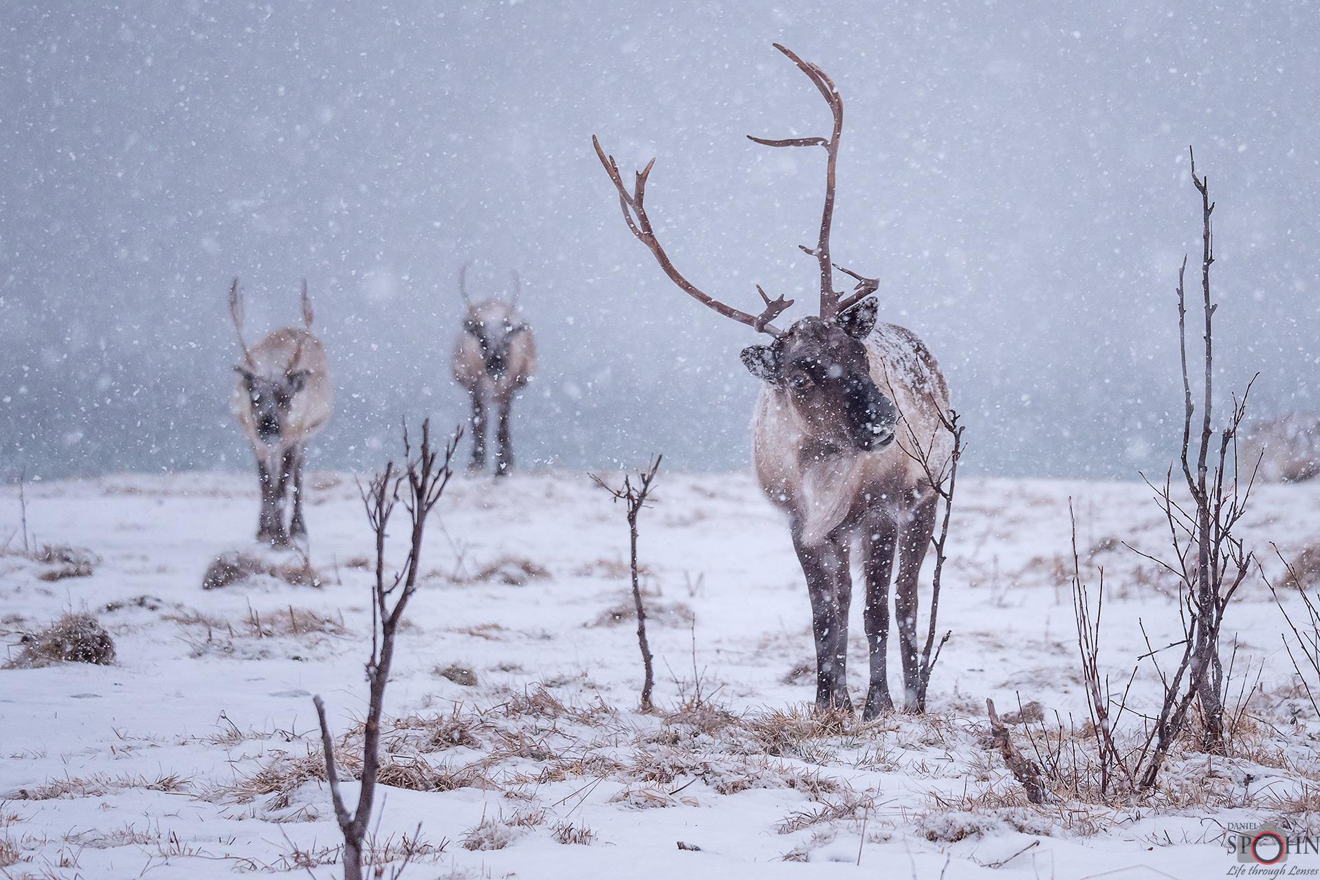 Rentier-Norwegen-Winter-Schnee